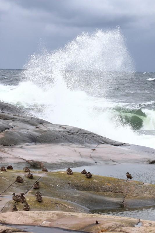 Foto av brytande vågor och ejdrar.