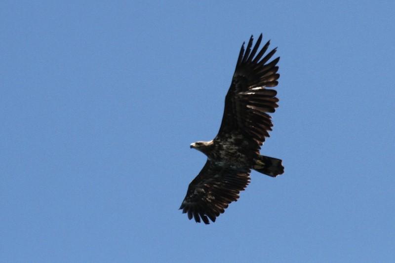 Photo of a white-tailed eagle.