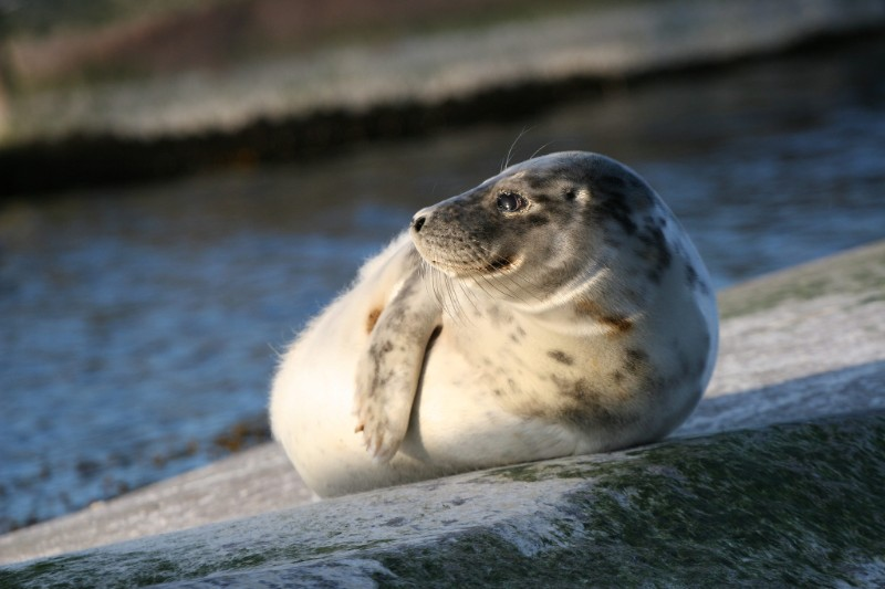 Photo of a grey seal.