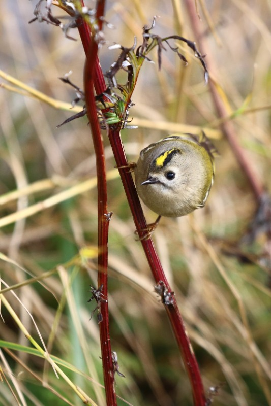 Photo of a goldcrest (tiny bird).